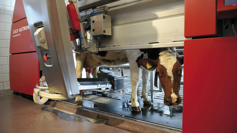 Cow in the Milking Robot Lely Astronaut A3 Next